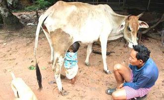 شیر خوردن بچه از گاو
